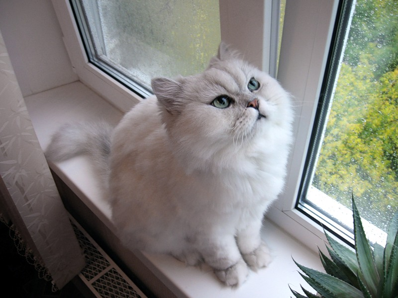 Британский кот чем болеют