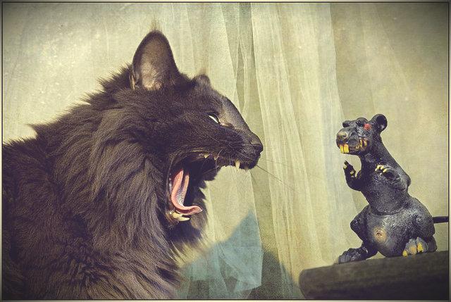 Кот охотится на крыс
