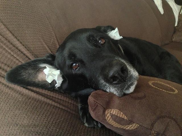 Нужно ли собаке чистить уши