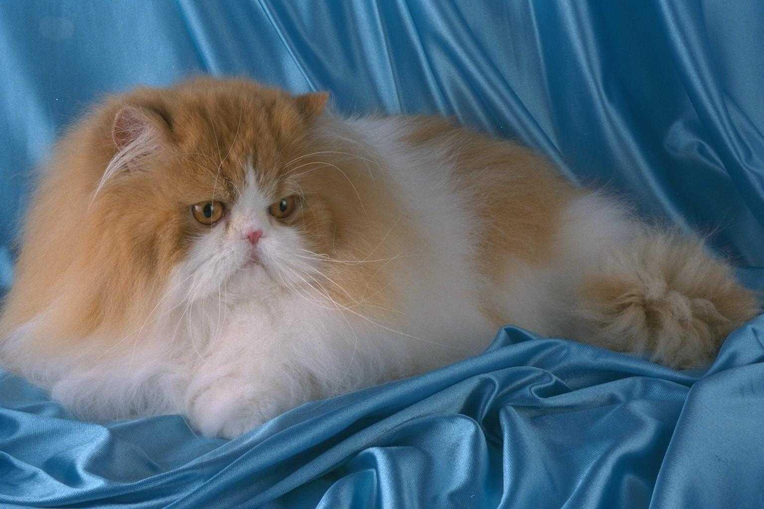 Персидская кошка: фото, описание породы, характер, видео