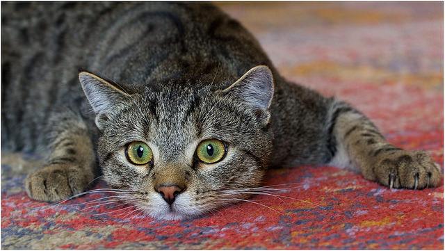 Кошка при циррозе печени очень вялая