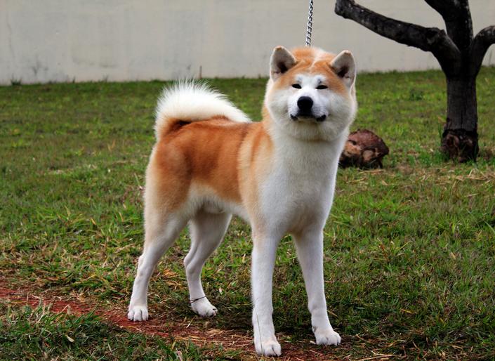 собаки породы акита фото