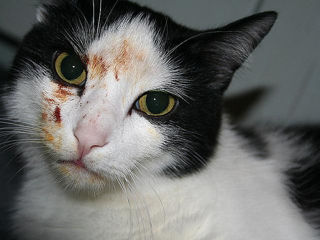Как остановить коту кровотечение