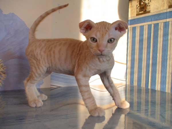 Украинские коты левкои
