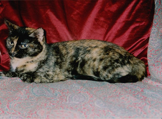 Черепаховая кошка торти