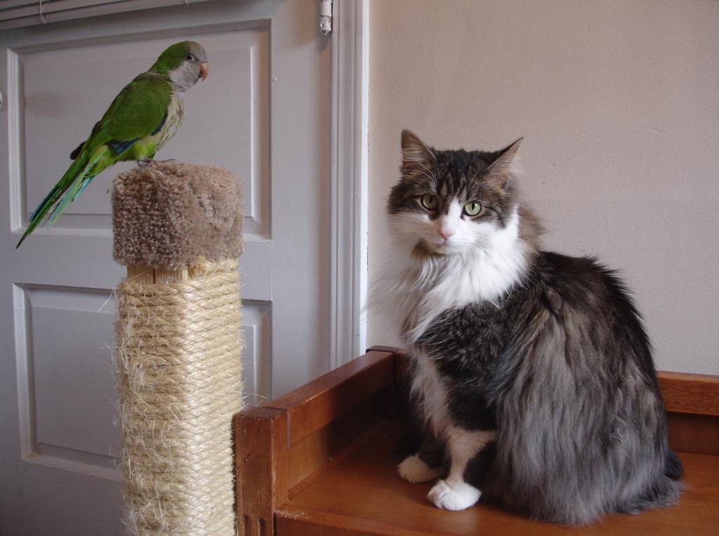 Как приучить кота к попугаям