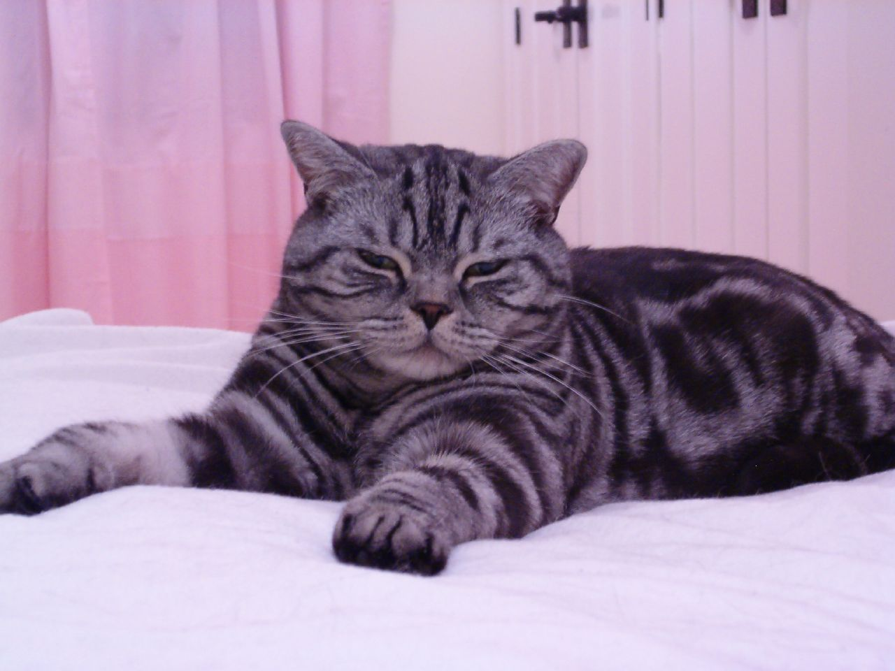 Все окраски британских котов