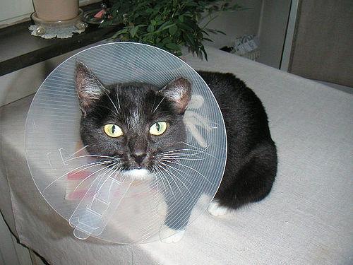 Как долго заживают коты после кастрации