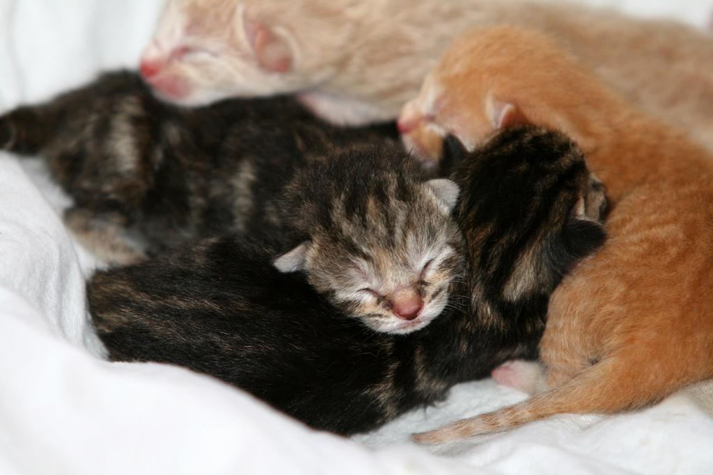 чем кормить новорожденного котенка