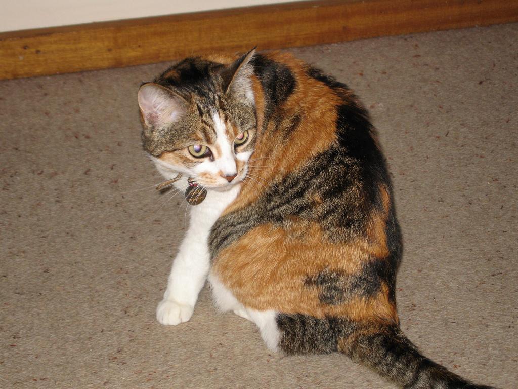 Черпаховая кошка калико