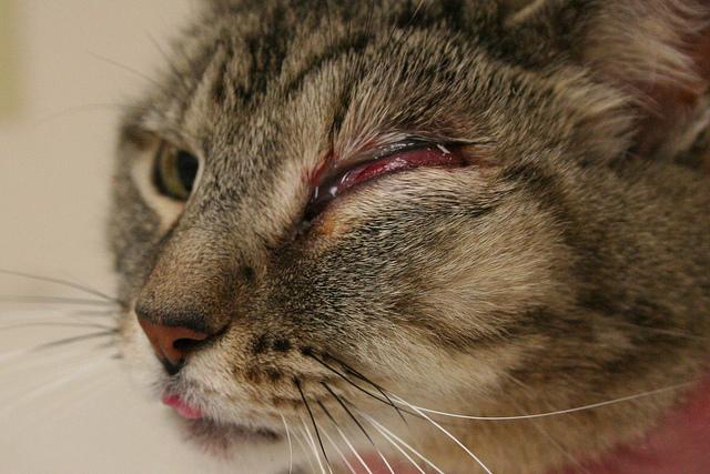 У кота опухло над в глазом