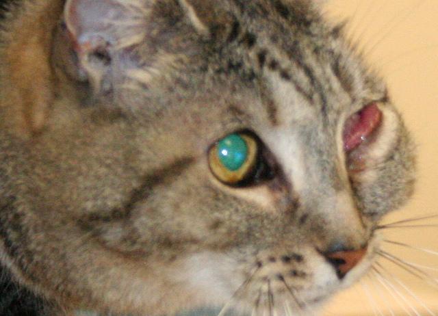 Конъюнктивит у кота