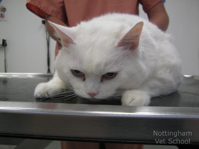 Как вылечить диабет у кота