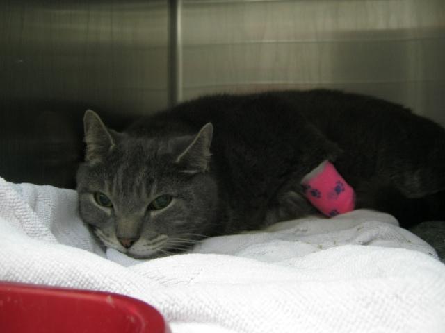 лечение кошки от панкреатита