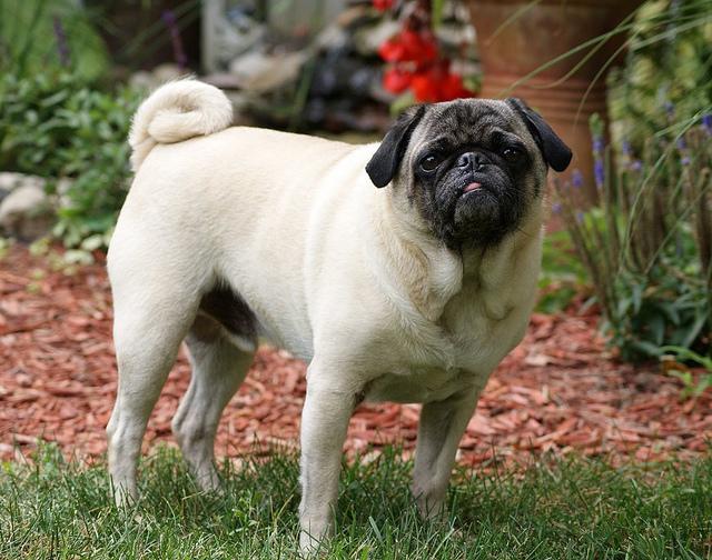 цирроз печени у собаки