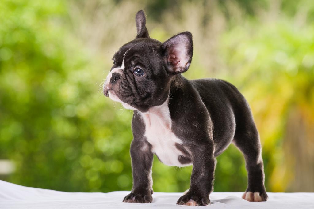 французская собака фото силу этого