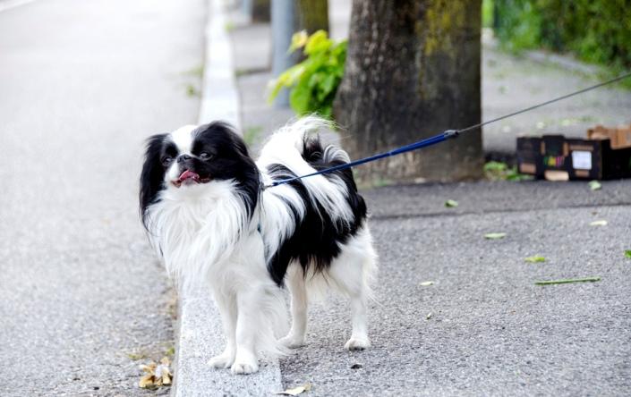 Особенности жизни и размножения собак породы японский хин jj.нож eriksson mora углеродистая сталь