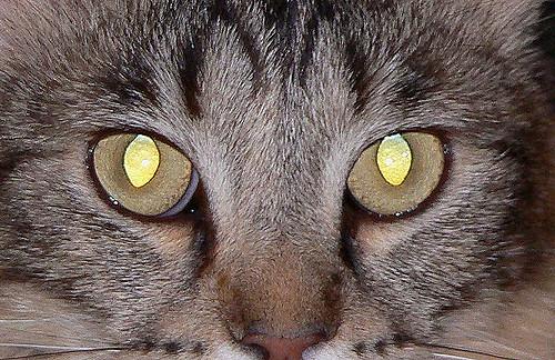 показывает у кошки светятся глаза картинки как