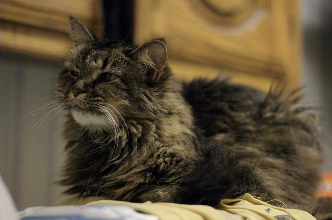 Старые кошки: особенности содержания, уход