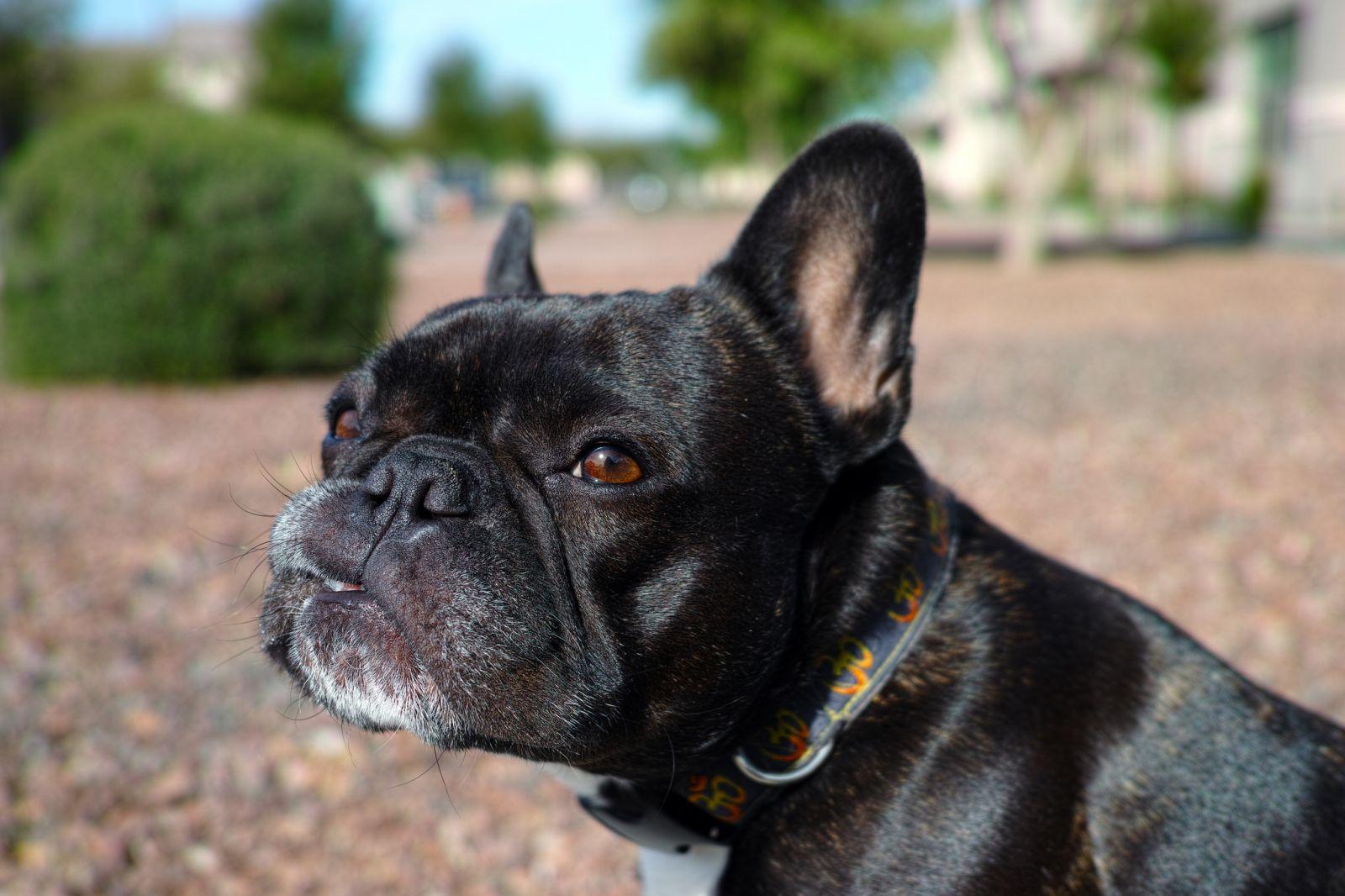 Французские породы собак картинки