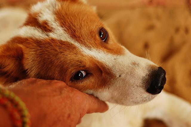 Можно ли вылечить цирроз печени и асцит у собаки thumbnail