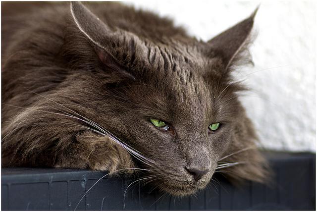 запах изо рта у котов кишечная палочка