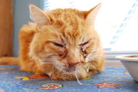 Чем лечить хламидиоз у кота