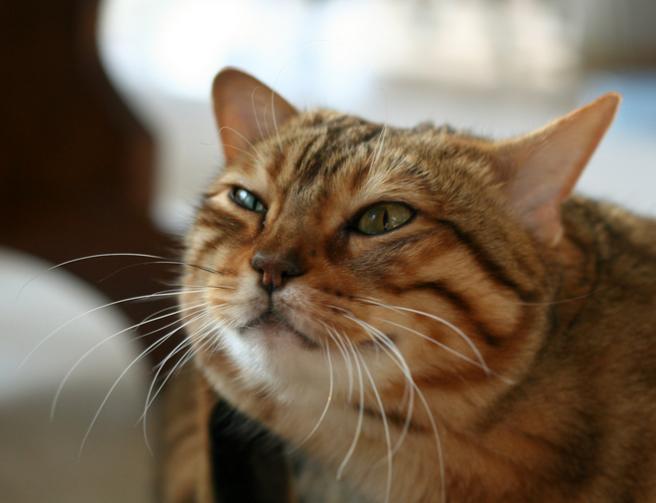 Если кошка просит кота до течки