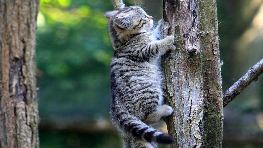 Порода европейский кот