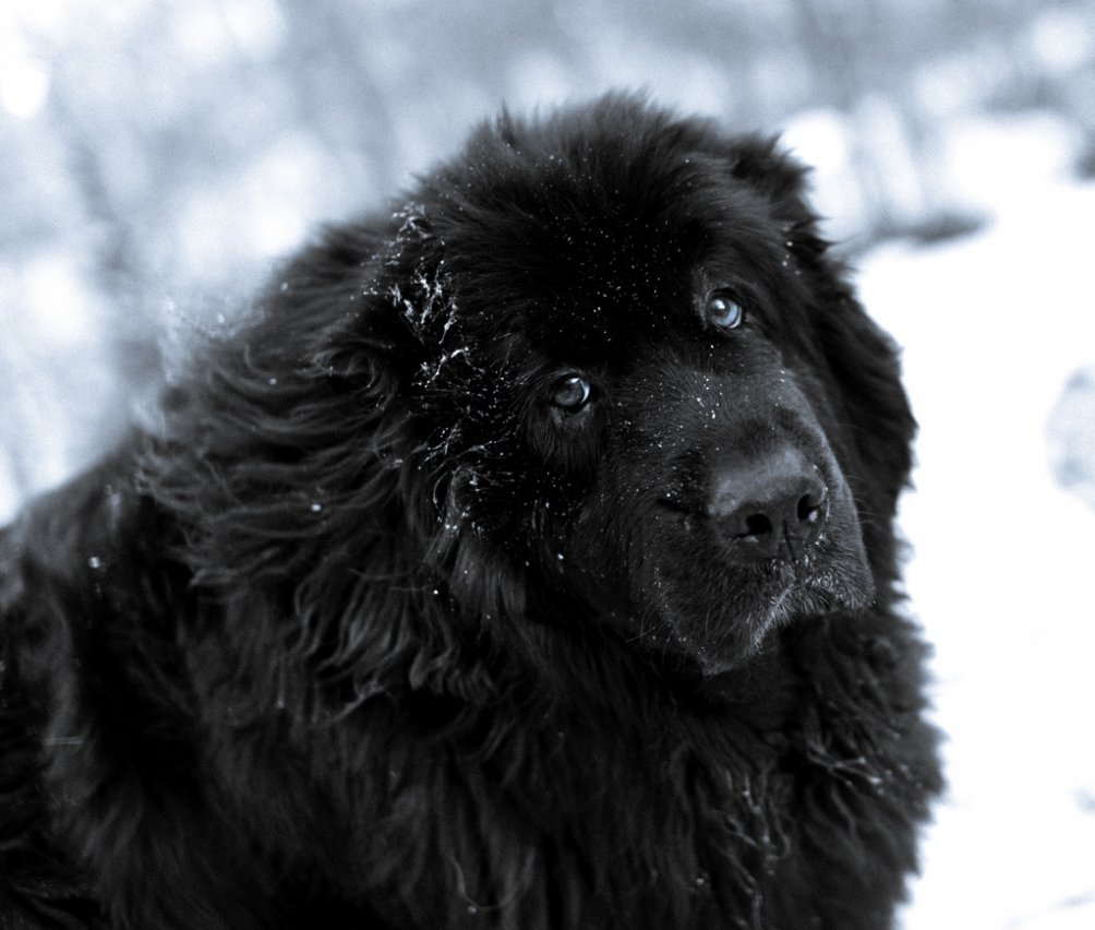 https://usatiki.ru/files/images/Newfoundland-Dog-In-The-Snow-Photo-1004x852.jpg
