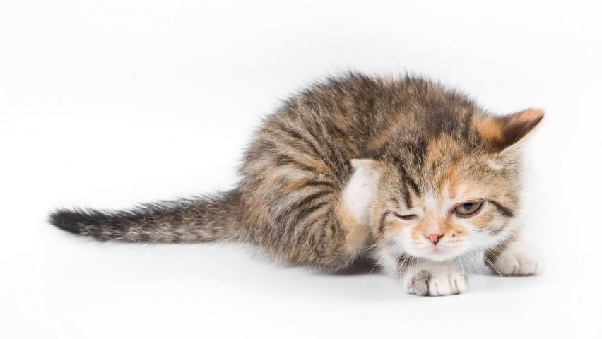 выводим блох у кошек