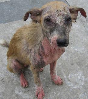 Экзема у собак: фото, симптомы и лечение в домашних условиях