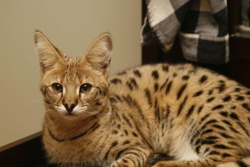 характер кошек породы Саванна