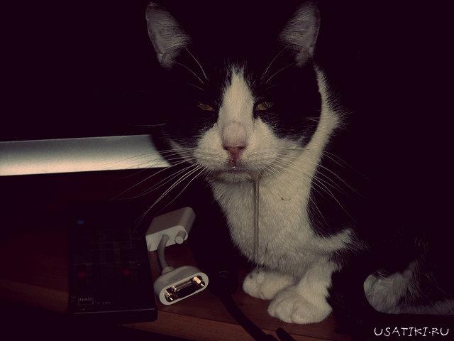 Обильное слюнотечение - симптом стоматита у кошек