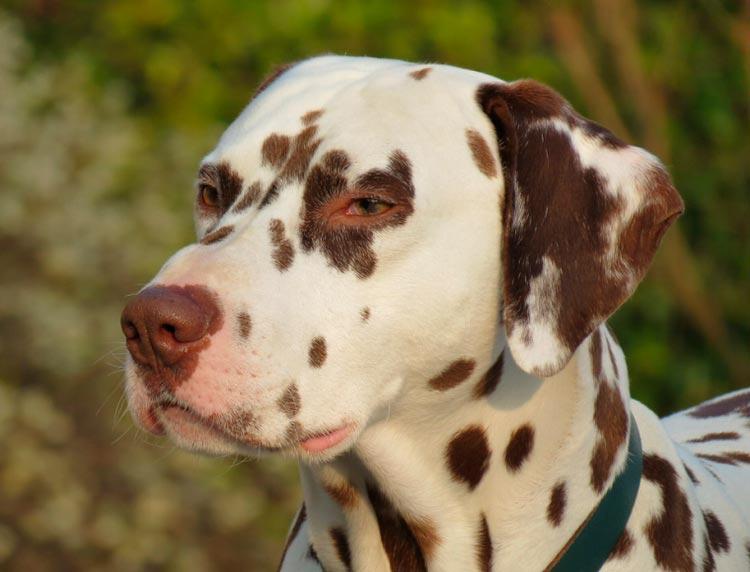 Собака породы далматин