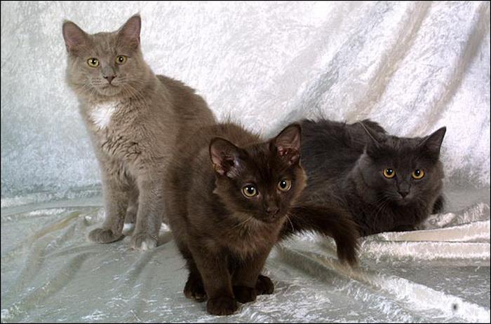 йоркские шоколадные котята