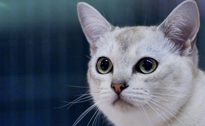 бурмилла кошка фото