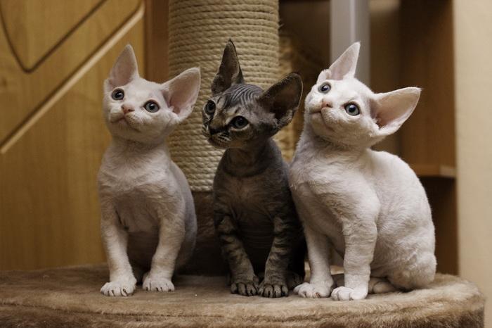 котята девон рексы