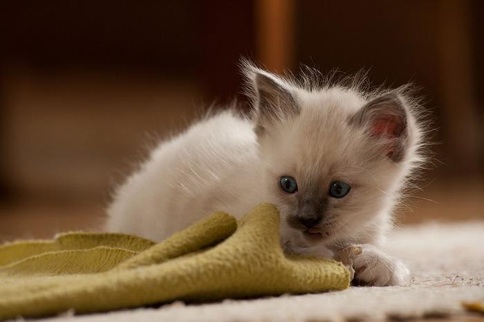 котенок бирмы