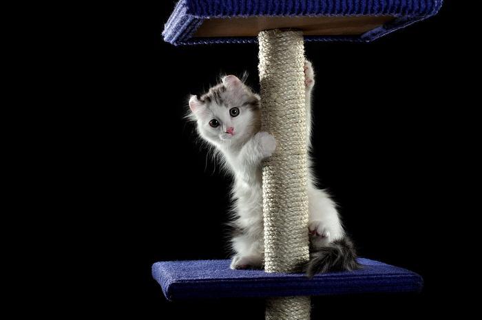 котенок американского керла на фото