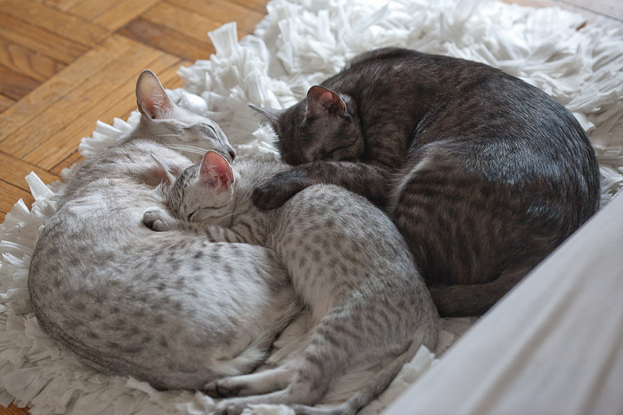 Египетские мау спят