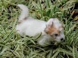 щенок породы Котон-де-тулеар