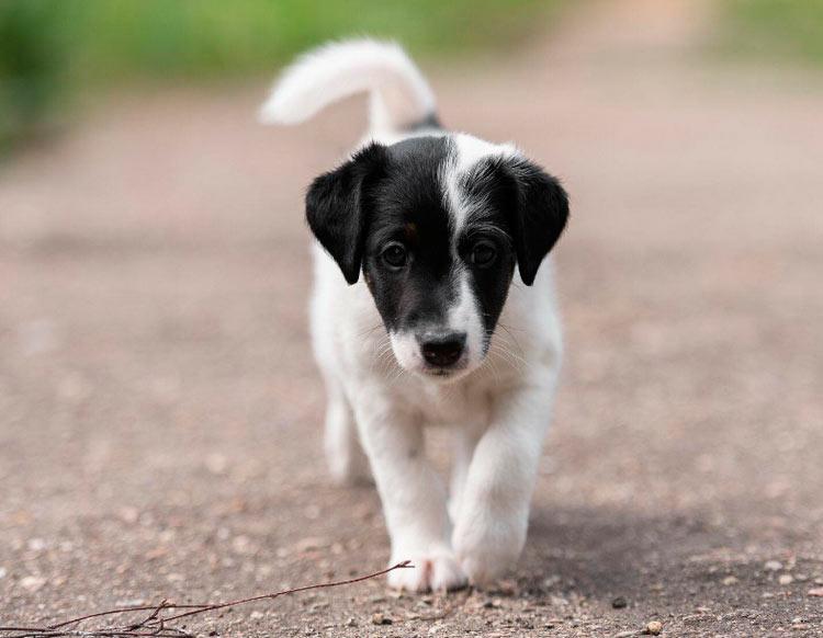 щенок фокстерьера