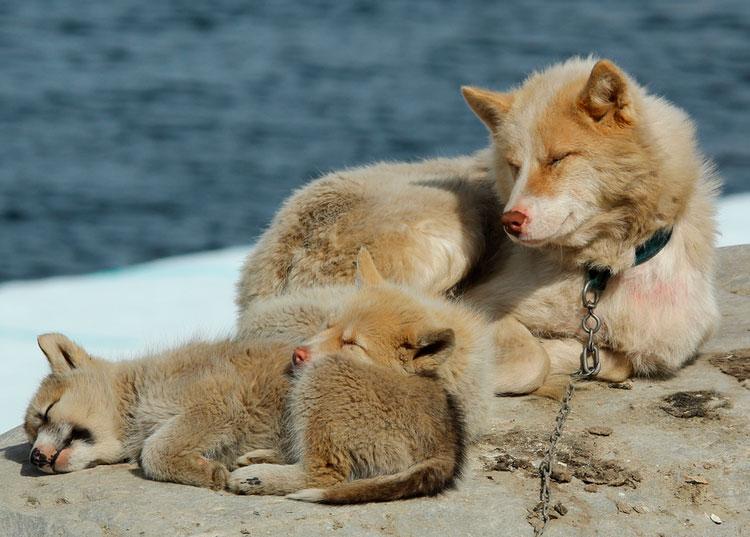 гренландская собака со щенками