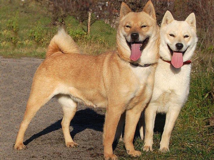 две собаки породыхоккайдо