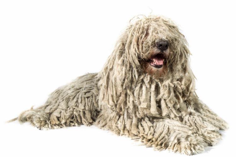 порода собак комондор