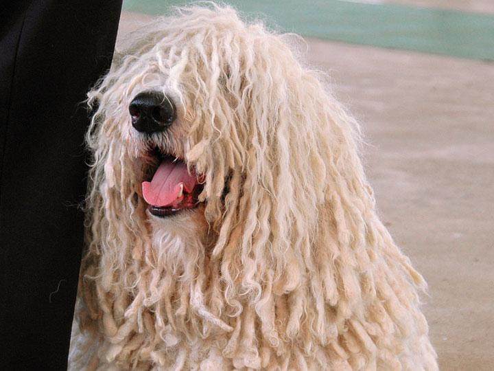 собака комондор