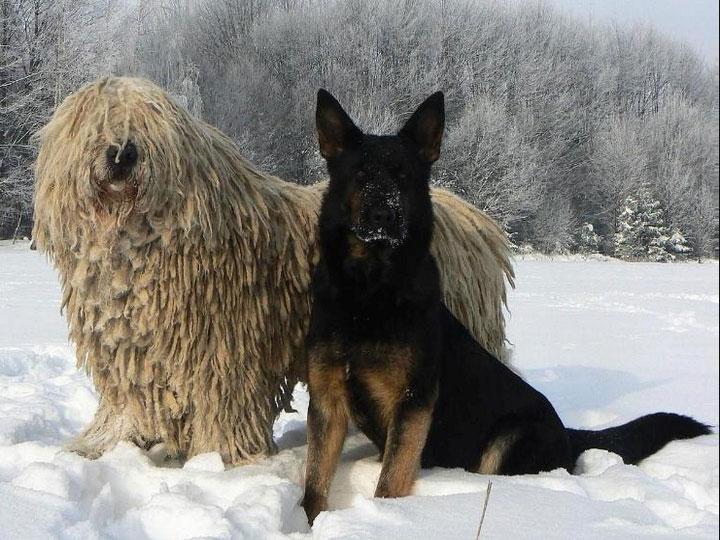 комондор и овчарка
