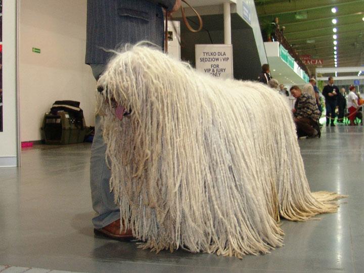 комондор на выставке