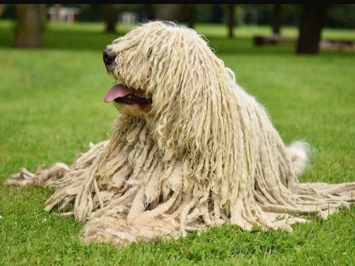 собака камандор